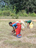 Indian women harvest sesame seed — Stock Photo