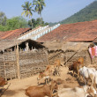 Homes and cattle of a tribal village — Stock Photo