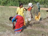 印度妇女收获芝麻种子 — 图库照片