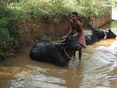 Young boy washes his water buffalo — Stock Photo