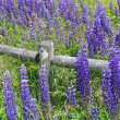 Stock Photo: Purple lupines along rail fence
