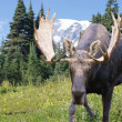 Moose male - Stock Photo