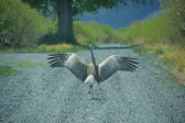 Sandhill Crane (Grus canadensis) — Stock Photo