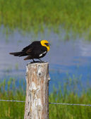 Yellow Headed Blackbird (Xanthoocephalus xanthocephalus) — Stock Photo
