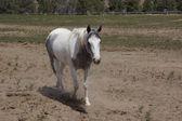 在字段中的白马 — 图库照片