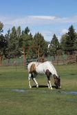 Kahverengi ve beyaz at ben otlatma — Stok fotoğraf