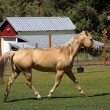 Tan palomino horse grazing — Stock Photo