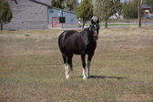 Svart häst betande — Stockfoto