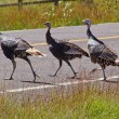 Stock Photo: Wild turkeys running across hghway