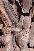Bristlecone pine, detalhe da casca — Fotografia Stock