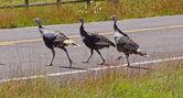 Wild turkeys running across the hghway — Stock Photo
