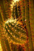 Detail, sharp, spiny cactus needles in late afternoon light — Stock Photo