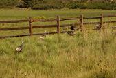 Wild turkeys in prairie grasses — Stock Photo