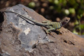 Collared lizard — Stock Photo