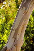 Peeling bark on Eucalyptus tree trunk — Stock Photo