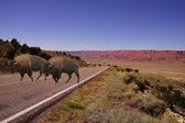 Grupa bizon spacerując po drodze — Zdjęcie stockowe
