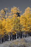 Otoño dorado brillante colores Álamo temblón — Foto de Stock