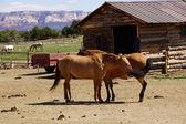 Caballos marrones en un rancho del desierto — Foto de Stock