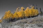 Brilliant golden fall aspen colors — Stock Photo