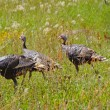 Stock Photo: Wild turkeys in prairie grasses