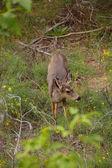 Mule deer along the Virgin River — Stock fotografie