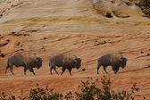 Groupe de bisons en marchant à travers les falaises érodées — Photo