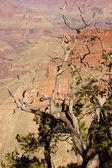 Juniper snag, looking north over the Grand Canyon — Fotografia Stock