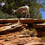Rocky Mountain sheep against bright blue sky — Stock Photo #37847907