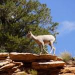 Rocky Mountain sheep against bright blue sky — Stock Photo #37915845