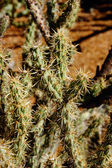Buckhorn cholla — Stock Photo