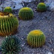 Golden barrel cactus — 图库照片