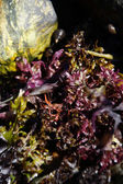 Seaweed and kelp — Stock Photo