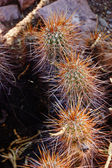 Spiny details of cholla cactus — Stock Photo