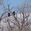 Pair of bald eagles ( Haliaeetus leucocephalus ) — Stock Photo