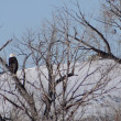 Stock Photo: Pair of bald eagles ( Haliaeetus leucocephalus )