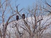 Pair of bald eagles ( Haliaeetus leucocephalus ) — Stock Photo
