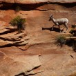 Rocky Mountain sheep ( Ovis canadensis ) climbing — Stock Photo #41070153