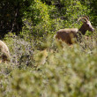 Rocky Mountain sheep ( Ovis canadensis ) grazing — Stok fotoğraf