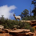Rocky Mountain sheep  against bright blue sky — Stock Photo #44794851