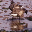 Brant  Goose pair wading — Stock Photo #45341171