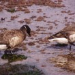 Brant  Goose pair wading — Stock Photo #45341181