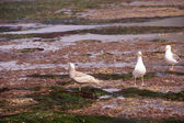 Gulls forage in tide pools  — Stock Photo