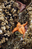 Orange starfish  exposed by low tides — Stock Photo