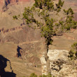 Juniper snag, looking north over the Grand Canyon — Stock Photo