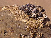 Masses of mussels on the beach — Stock Photo