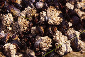 Background of mussels and barnacles exposed at low tide — Stock Photo