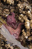 Purple starfish exposed by low tides — Stock Photo
