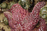 Purple sea star exposed by low tides — Stock Photo