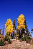 Pioppi tremuli colori caduta d'oro brillante — Foto Stock