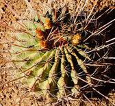 Fiori, frutta e spine di minuscoli barrel cactus — Foto Stock